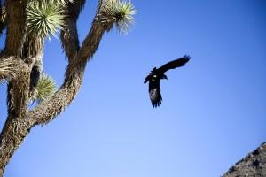 Joshua Tree Raven_29